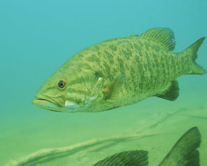 Smallmouth-Bass-cc3.jpg