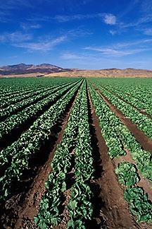 5-127-14-lettuce-y.jpg