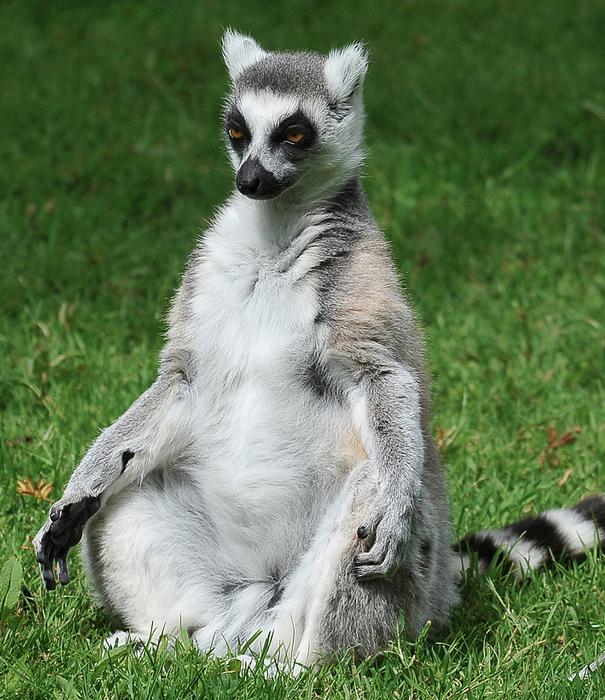 Lemur-Meditating.jpg