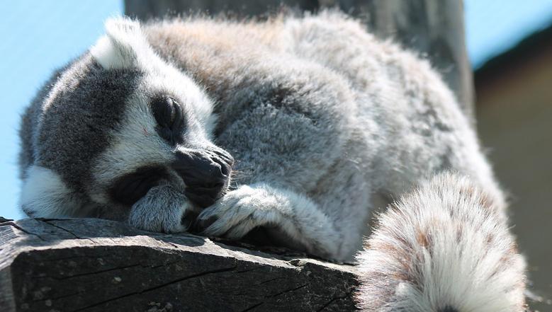 LemurSleeping.jpg