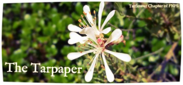 Tarpaper - Tarflower Chapter