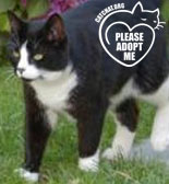 black and white cat for adoption west wales