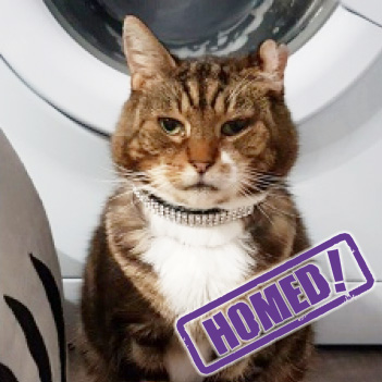 tabby cat homed the wirral merseyside